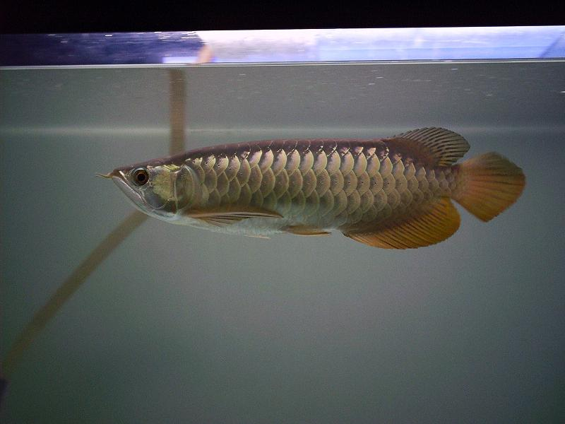 A 15-Inch High-backed Golden Arowana