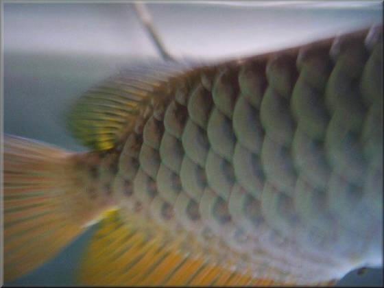 Malaysian Golden